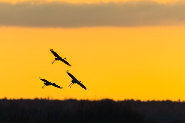 andhill-Cranes-Coming-in-for-a-Sunset-Landing-on-the-Prairie