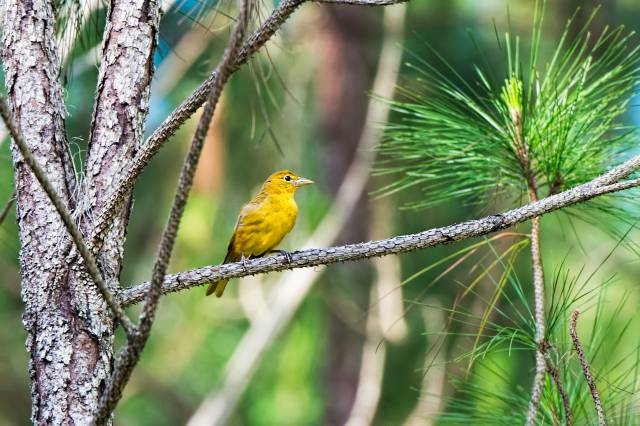 Female-Summer-Tanager