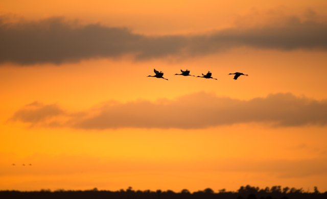 Four-Sandhill-Cranes-at-PPSP-Sunset
