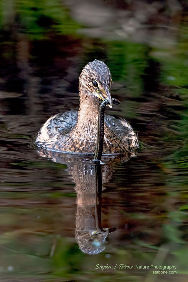 Grebe-with-Snake