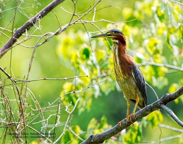 Green-Heron-at-Huntley-Meadows-wLogo