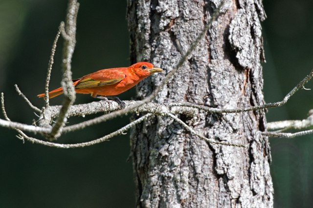 Male-Summer-Tanager-2