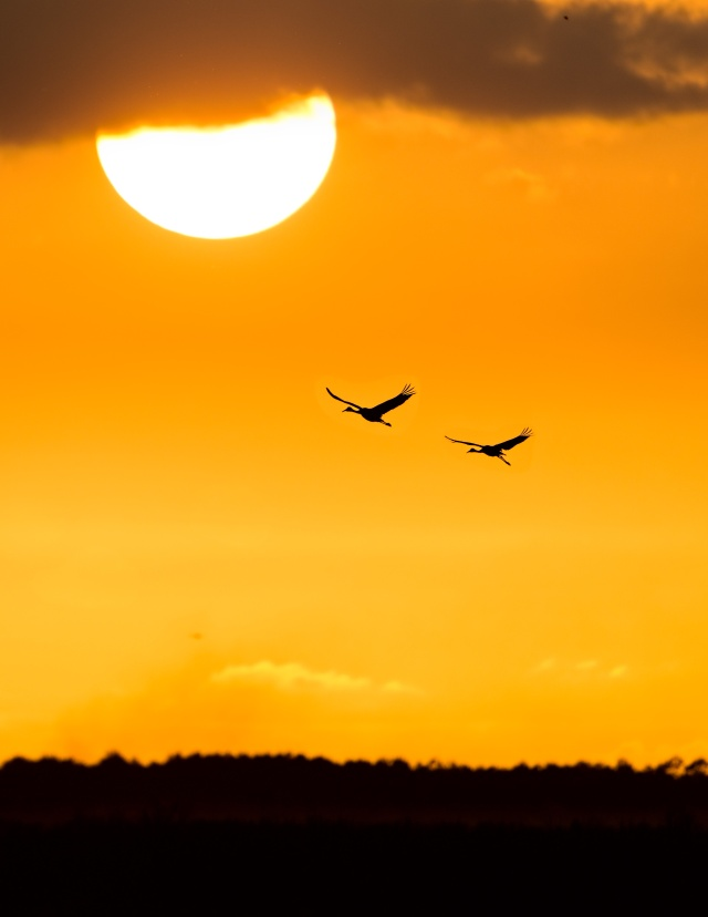 Two-Sandhill-Cranes-at-Sunset-on-PPSP