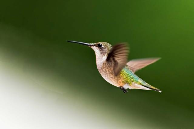 Female-Ruby-throated-Hummingbird-2