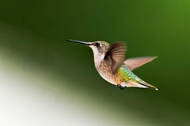 Female-Ruby-throated-Hummingbird-2