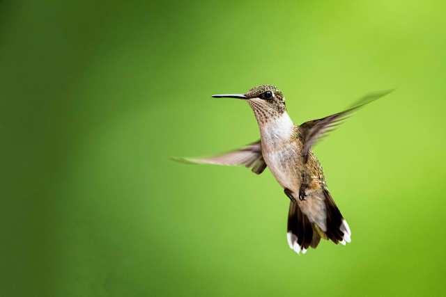 Female-Ruby-throated-Hummingbird