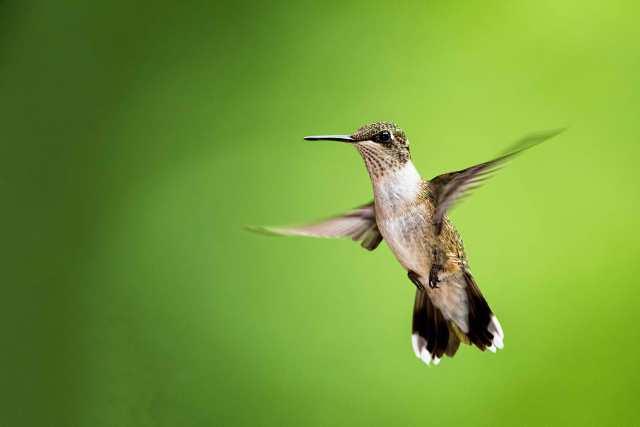Female-Ruby-throated-Hummingbird