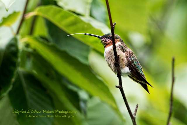 Male-Ruby-throated-Hummingbird-2-wLGo
