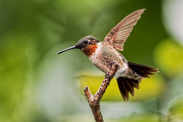 Male-Ruby-throated-Hummingbird