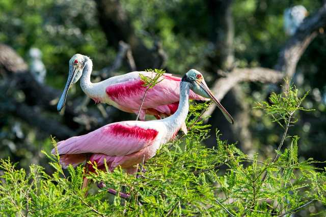 Pair-of-Rosate-Spoonbills