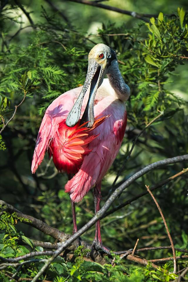 Rosate-Spoonbill-Preening-Its-Tail-Feathers