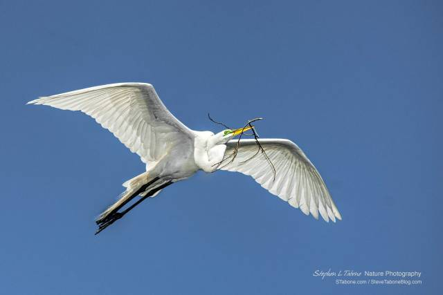 Great-Egret-Flying-with-Nesting-Material-wL