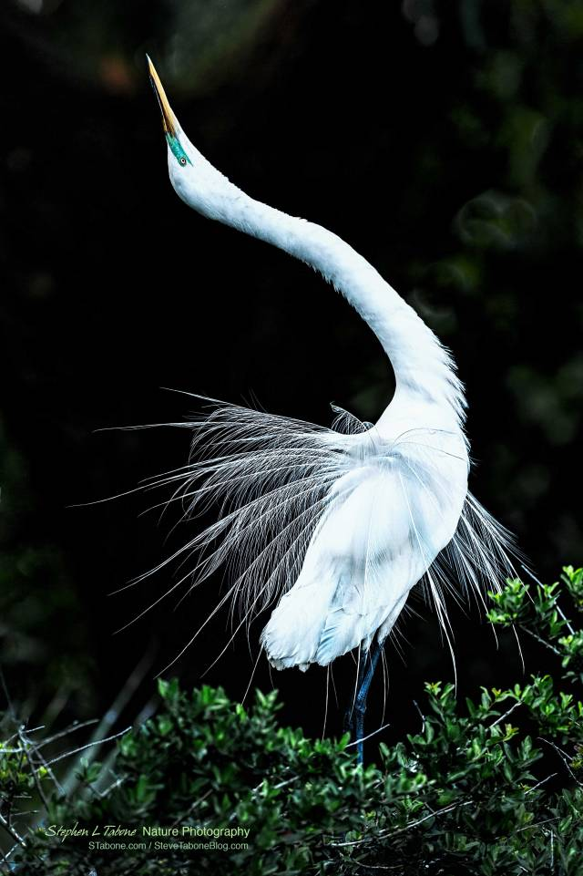 Great-Egret-Mating-Show-wL
