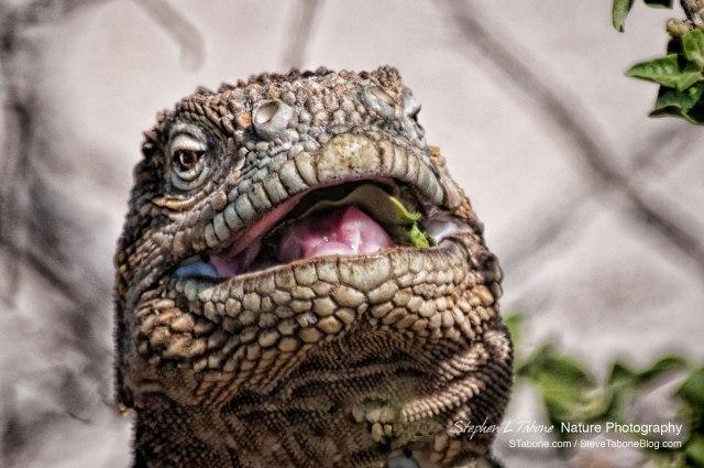 Galapagos-Land-Iguana-3-wL