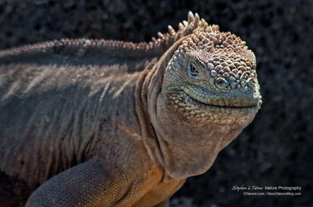 Galapagos-Land-Iguana-wL