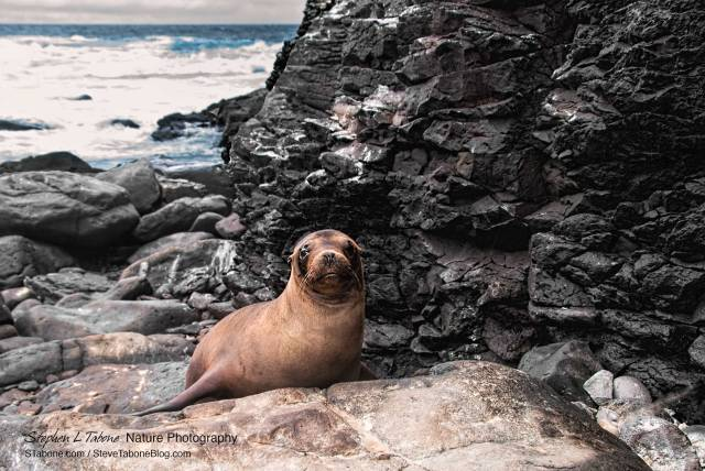 Sea-Lion-on-Rocks-on-Espanola-Island