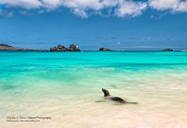 Sea-Lion-Swimming-on-Espanola-Island-Galapagos-wL