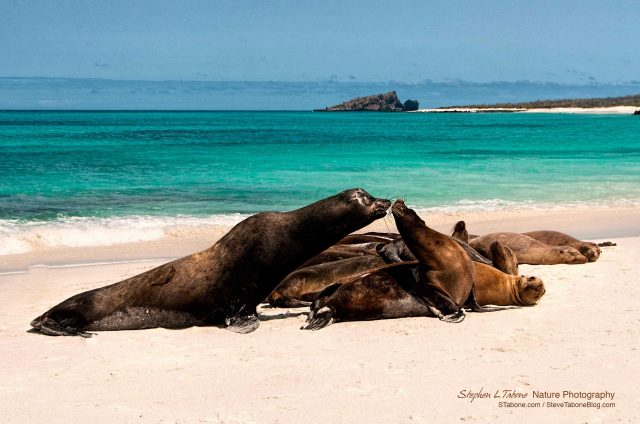 Sea-Lions-on-Espanola-Island-Galapagos-wL