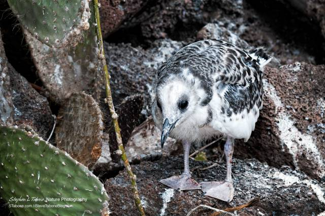Swallow-tailed-Gull-Chick-2