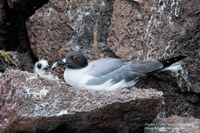 Swallow-tailed-Gull-with-a-Chick-2