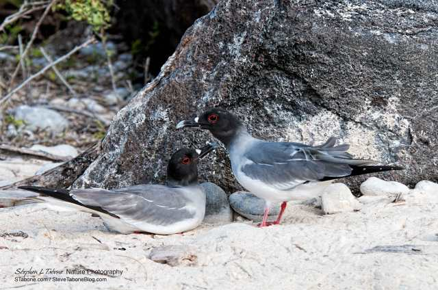 Swallow-tailed-Gulls
