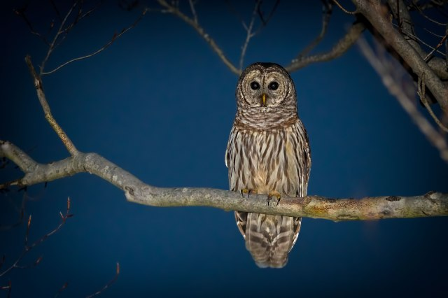 Barred-Owl-on-Lake-Montclair