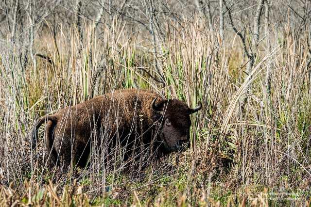 Bison-on-Paynes-Prairie-Preserve-State-Park-wL