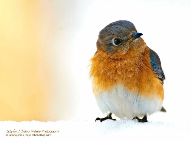 Bluebird-in-the-Snow