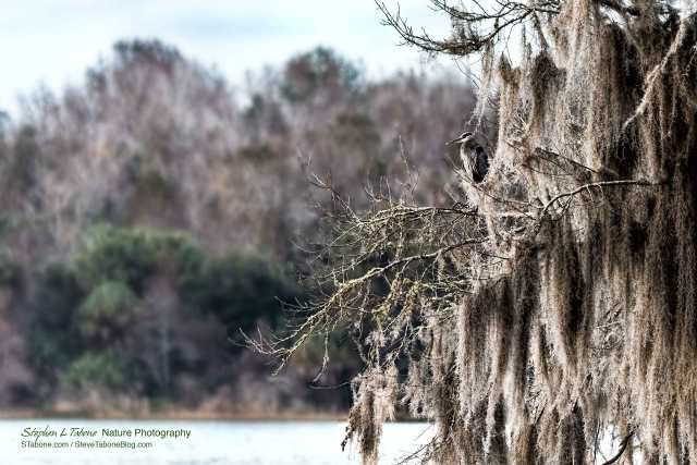 Great-Blue-Heron-in-Tree-on-Lake-Wauburg-3200