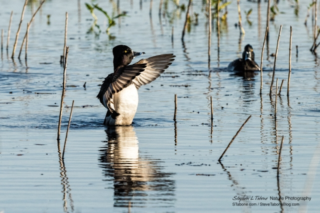 Ring-necked-Duck-at-Paynes-Prairie-3200