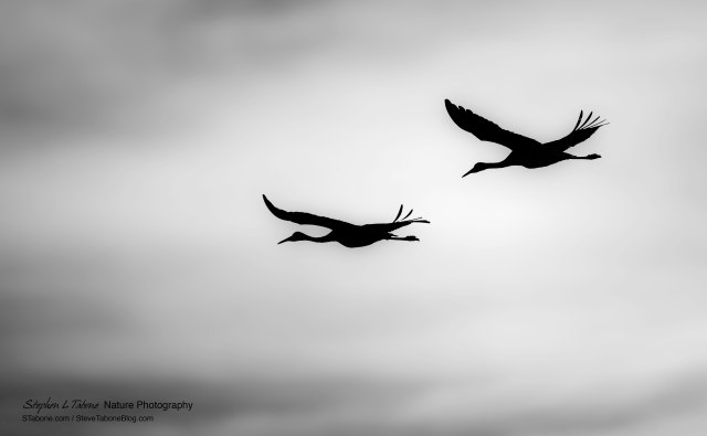 Sandhill-Cranes-Flying-B&W