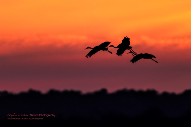 Sandhill-Cranes-Flying-the-Prairie-at-Sunset