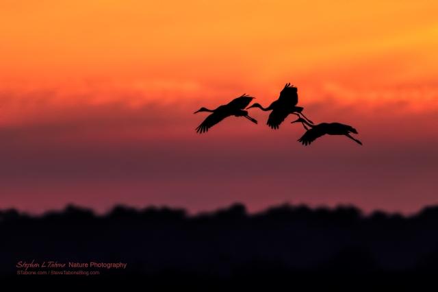 Sandhill-Cranes-Flying-the-Prairie-at-Sunset
