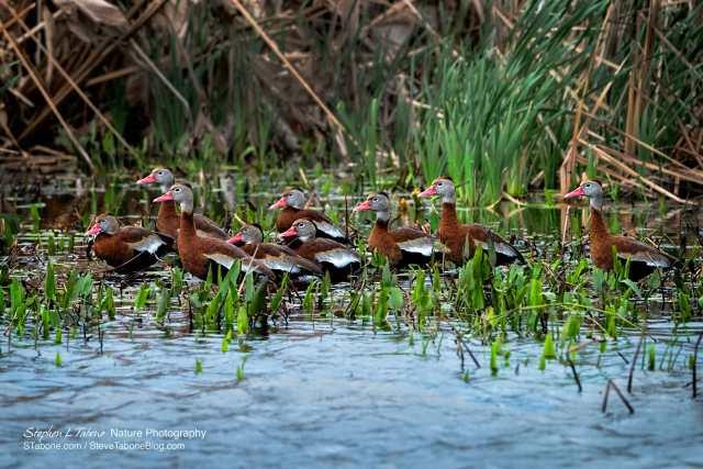 Whistling-Ducks-Paynes-Prairie-Preserve-State-Park-wL