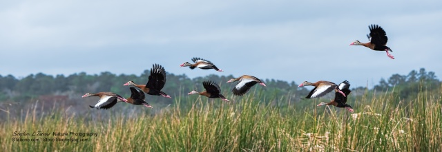 Whistling-Ducks-take-to-the-Air-at-Paynes-Prairie-3200