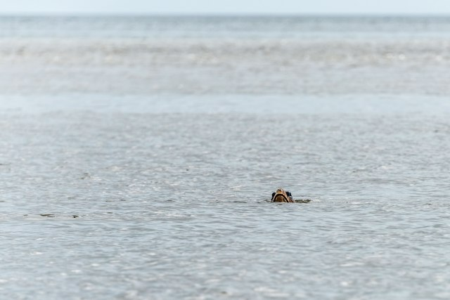 Loggerhead-Turtle-near-Bulls-Island