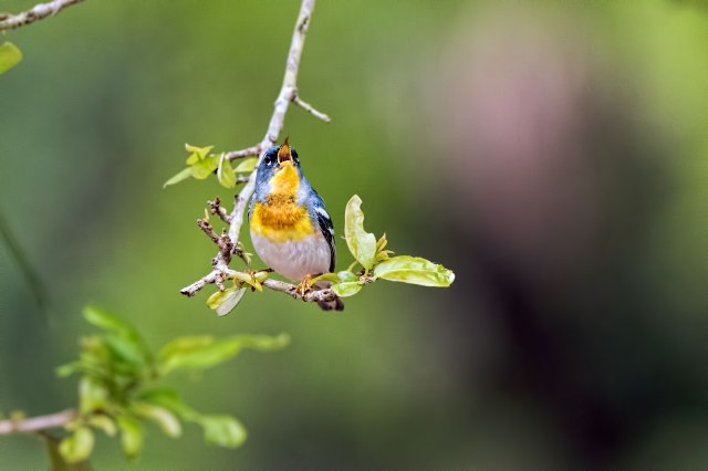 Northern-Parula-Singing-2