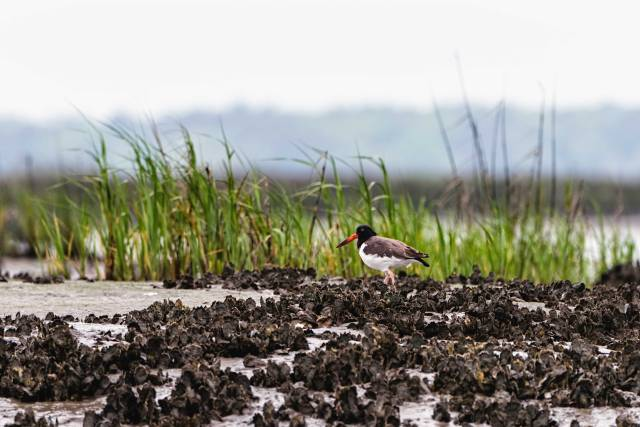 Oyster-Catcher-Walking-among-Oysters