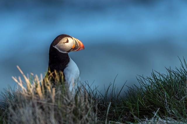 Puffin-Iceland