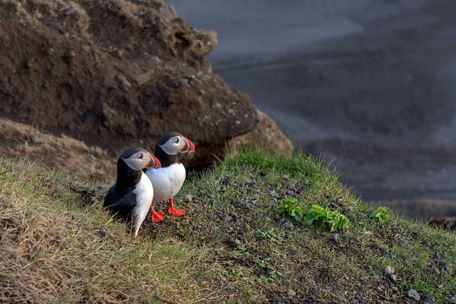 Atlantic-Puffins-Emerging-from-Burrow