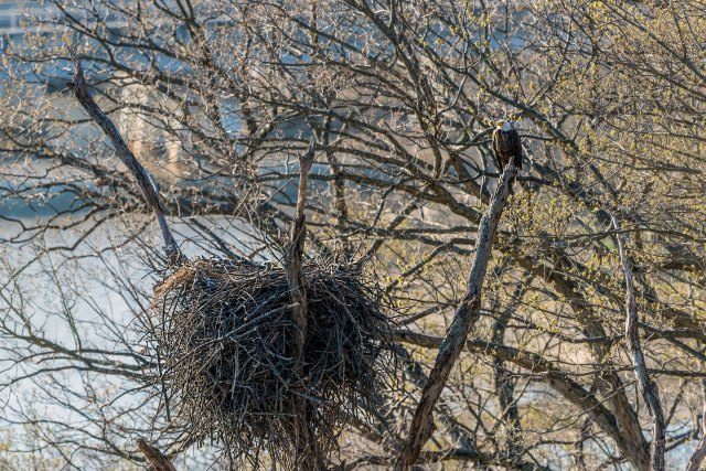 Eagle-on-Nest-with-Eaglet-2