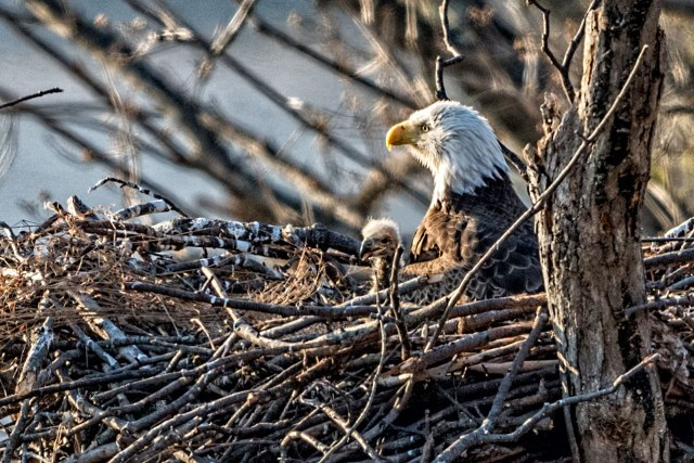 Eagle-on-Nest-with-Eaglet
