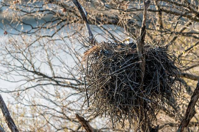 Eagle-on-Nest