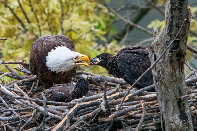 Eagle-Feeding-Eaglet