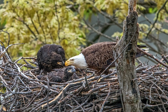 Eagle-with-Eaglets-2