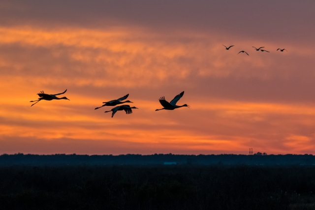 cranes-on-the-prairie-at-sunset-2