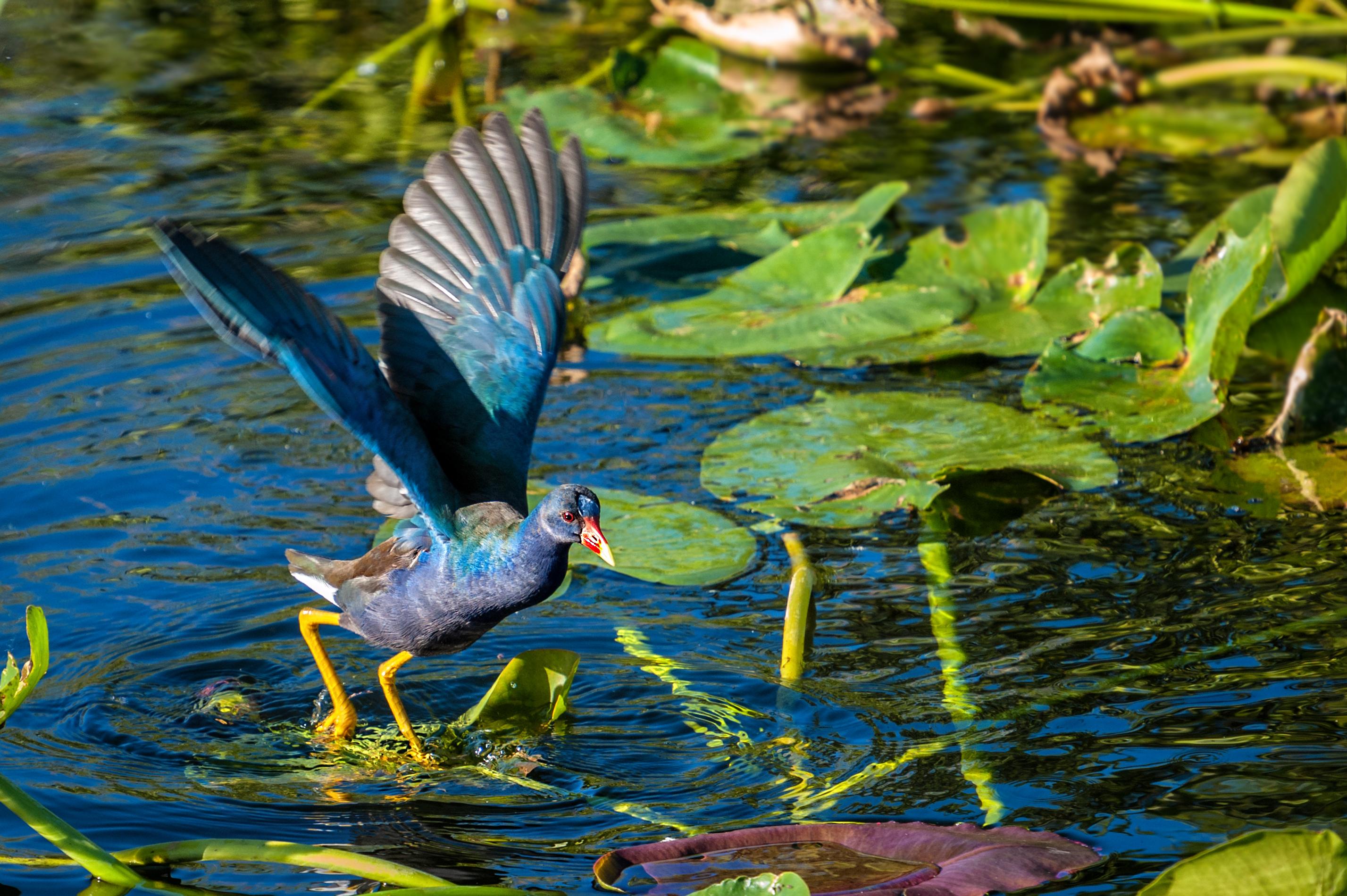 Purple Gallinule Wings